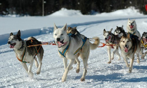 Sled Dog Ride and Kennel Tours